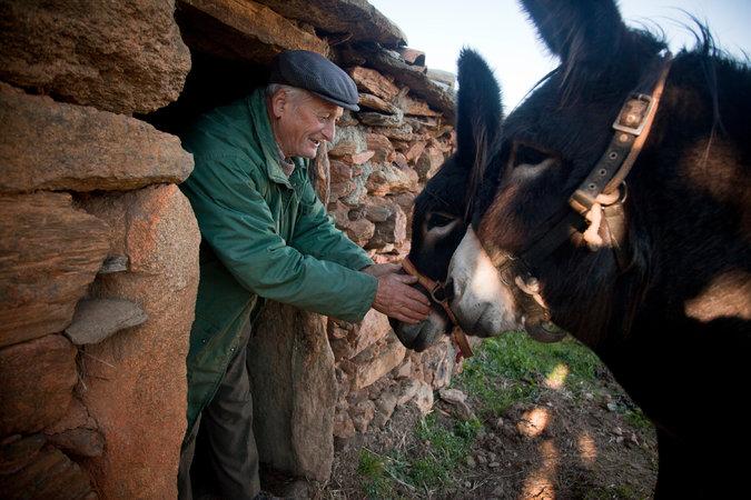 Un anciano cuida a un burro mirandés. (Foto Prensa Libre: The New York Times)