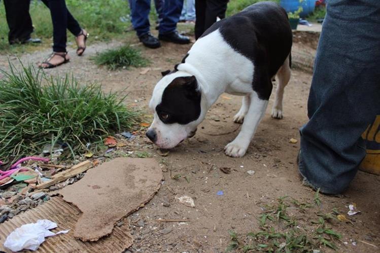 La perra fue pieza clave para localizar la vivienda donde se escondía el presunto delincuente. (Foto Prensa Libre: MP)