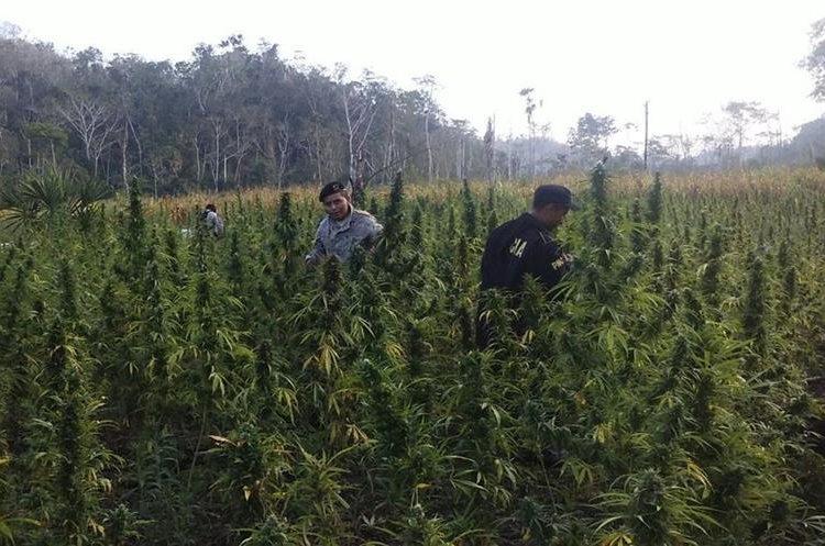 Se calcula que la plantación tenía unas 15 mil matas de marihuana. (Foto Prensa Libre: Rigoberto Escobar)