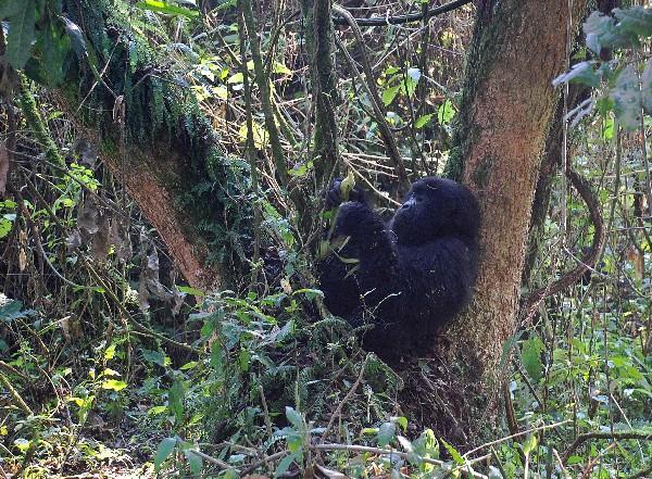 Un gorila de montaña en el Parque Nacional de Virunga,República Democrática del Congo. (AFP).