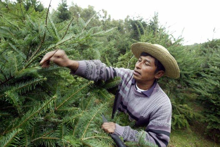 Los propietarios de fincas reciben del Inab y Conap, marchamos para que comercialicen parte del pinabete que cultivan. (Foto Prensa Libre: Hemeroteca PL)