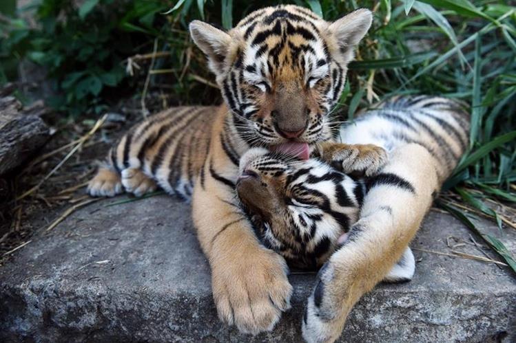 Los cachorros de tigre de bengala estan al cuidado por la Fundación de Refugio Salvaje.(AFP).