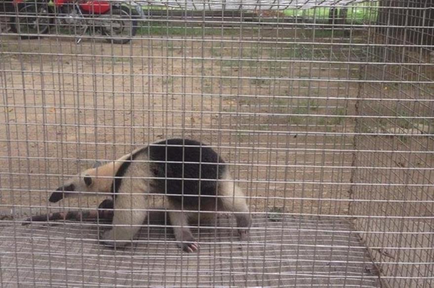 El oso hormiguero fue rescatado y trasladado hacia instalaciones del Conap, en Poptún, Petén. (Foto Prensa Libre: Conap)