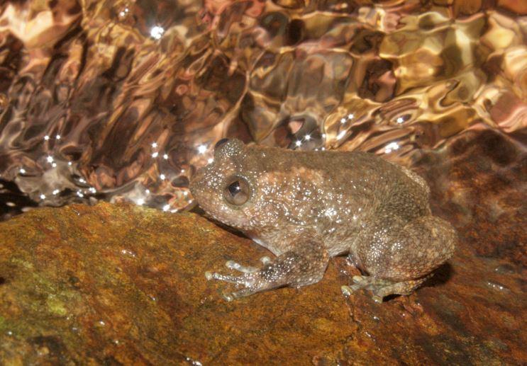 La rana bajo estudio es la Nyctibatrachus humayuni. (Foto Prensa Libre: Internet)