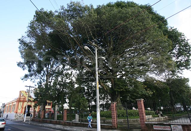 En el parque de la Iglesia San Pedrito, zona 5 se encuentra una frondosa ceiba. (Foto: Hemeroteca PL)