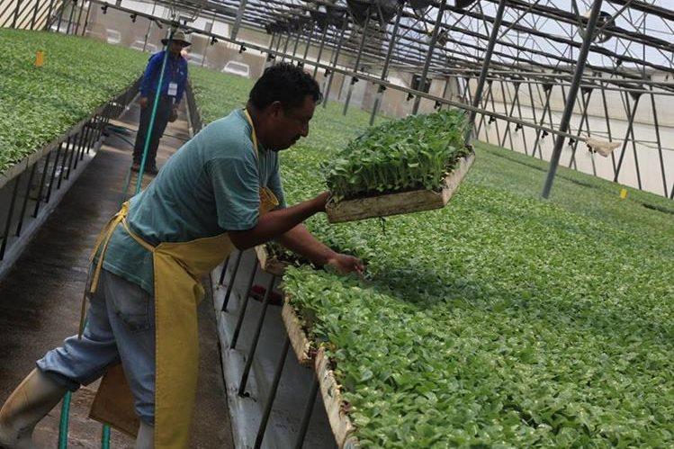 El objetivo del Cenem es mejorar las técnicas agrícolas, para que los productos sean competitivos a escala internacional. En la foto, un trabajador manipula pilones de brócoli en la empresa Popoyán, El Jocotillo, Villa Canales. (Foto Prensa Libre: Esbin García)
