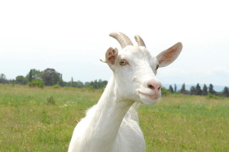 Entre las propiedades de la leche de cabra es que se digiere mejor, tiene menor contenido de grasa y es rica en ácidos grasos.