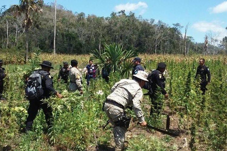 Las autoridades en plena faena de destrucción de la plantación de marihuana. (Foto Prensa Libre: Rigoberto Escobar)