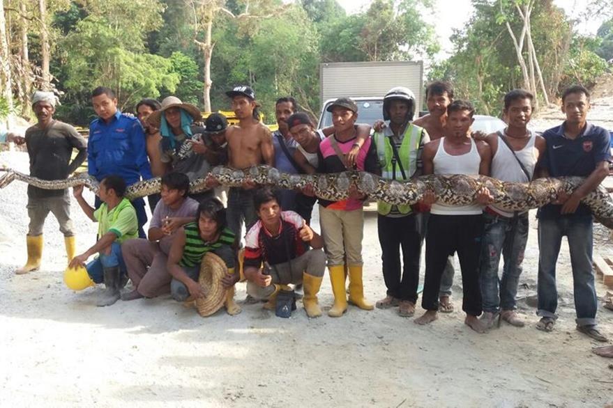 Habitantes de la localidad de Penang, cargan al reptirl de 250 kilos de peso y 7.5 metros de largo. (Foto Prensa Libre: EFE).