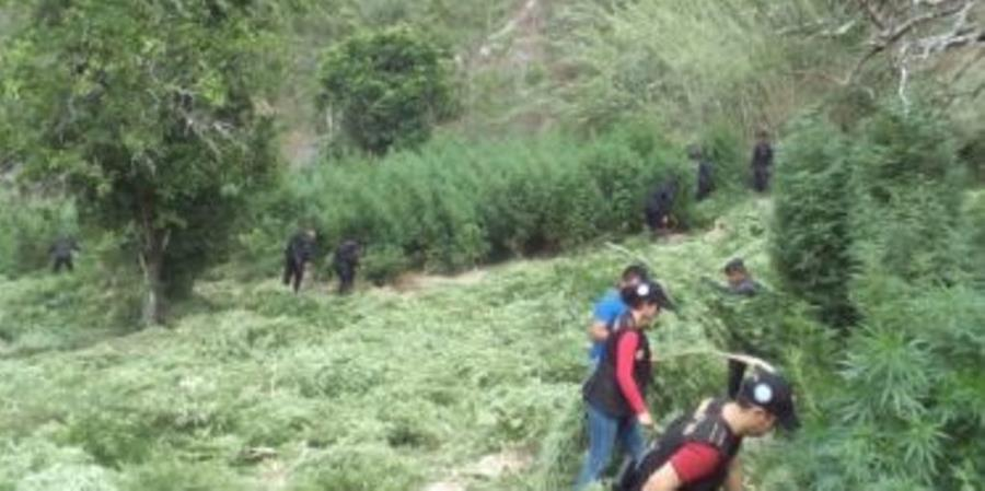 Autoridades erradican plantaciones de marihuana en Totonicapán. (Foto Prensa Libre: HemerotecaPL)