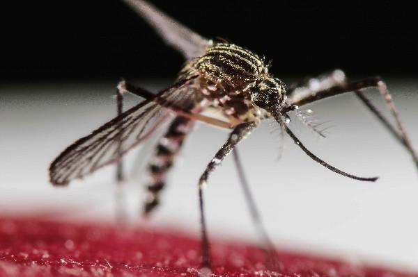El mosquito Aedes aegypti, transmisor del zika, dengue y chikunguya.