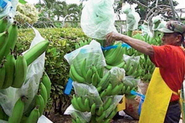 Honduras incrementó sus ventas de banano (Hemeroteca PL)