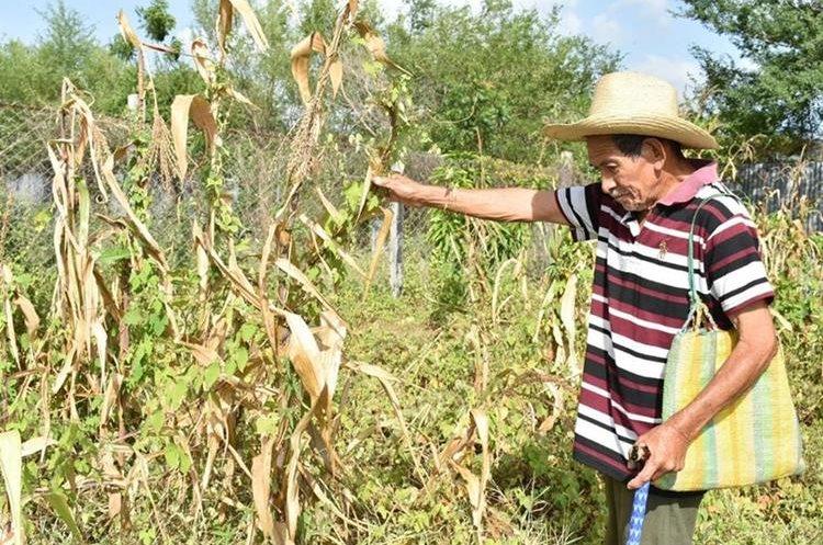 La tala inmoderada y el cambio climático se conjugan para golpear a ciertas regiones del país, como el   Corredor Seco. Campesino de Zacapa lamenta las pérdidas de sus cosechas. (Foto Prensa Libre: Mario Morales)