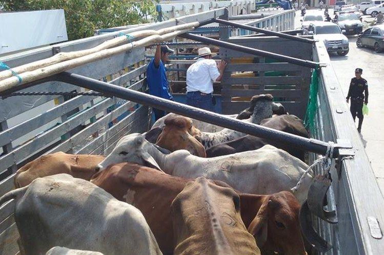 Algunas de las reses que fueron recuperadas en Poptún, Petén. (Foto Prensa Libre: Rigoberto Escobar).