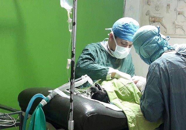Perro Nico durante cirugía. (Foto Prensa Libre: Pet A Vet).
