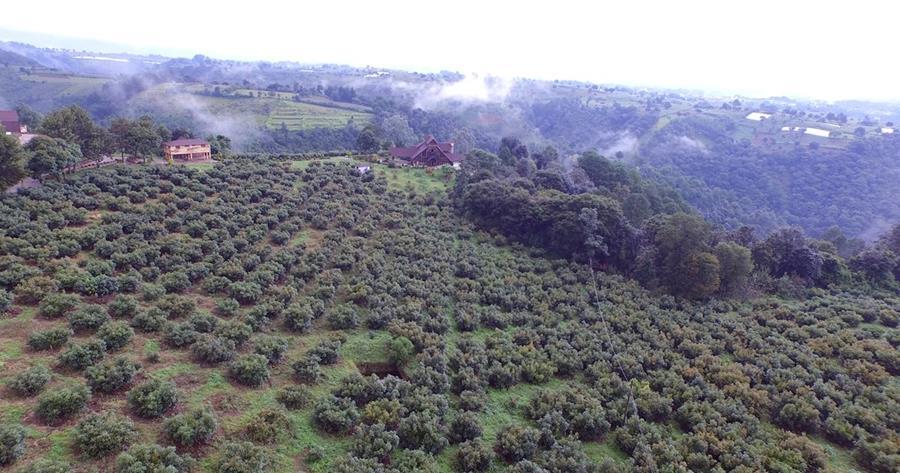 La vivienda está rodeada por la producción de aguacates Hass, que serán subastados. (Foto Prensa Libre: Hemeroteca PL)
