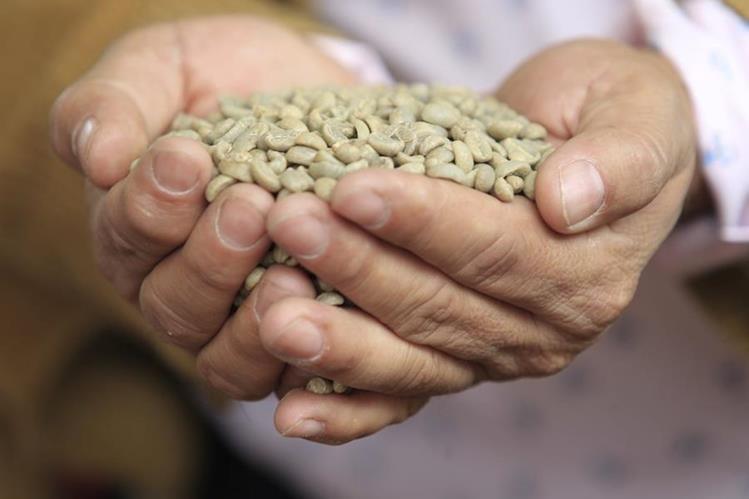 En las ocho regiones de Guatemala se cultiva café. (Foto Prensa Libre: Carlos Hernández)