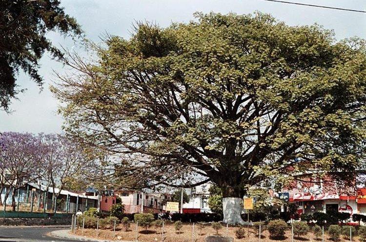 La Ceiba nace frágil, como todos las plantas.  (Foto Prensa Libre: Hemeroteca PL)