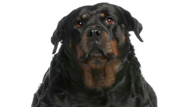 La epilepsia suele afectar más a los perros que a los gatos. (Foto, Copyrightwales)