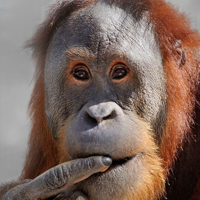 Rocky no es un orangután cualquiera. MIKE CROWTHER/ZOOLÓGICO DE INDIANÁPOLIS