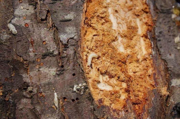 La corteza de los árboles está llena de gorgojos y gusanos lo que los está matando. (Foto Prensa Libre: Víctor Chamalé)