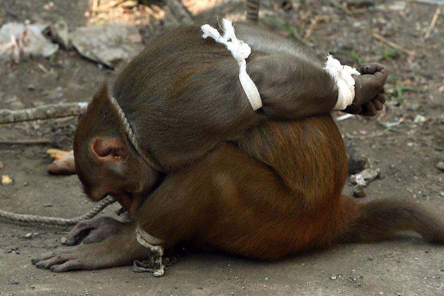 Los pobladores de Bombay amarraron a un mono por robar pertenencias. (Foto Prensa Libre: AFP)