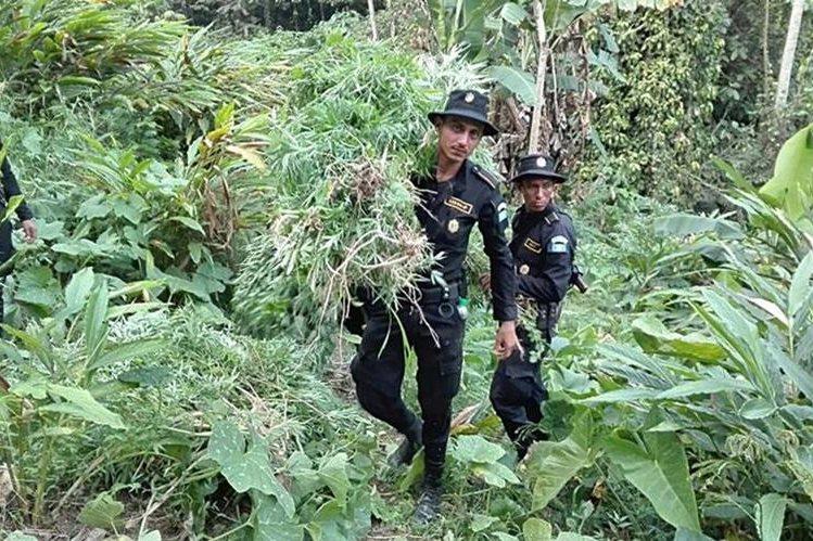 Agentes de la PNC destruyen plantación de marihuana en Lívingston. (Foto Prensa Libre: Dony Stewart).