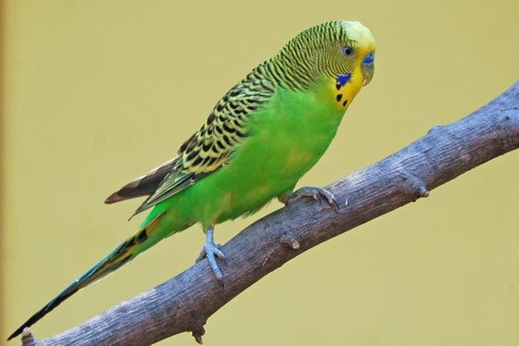 El perico australiano es el ave de jaula más popular del mundo. Mide entre 18 y 20 centímetros.