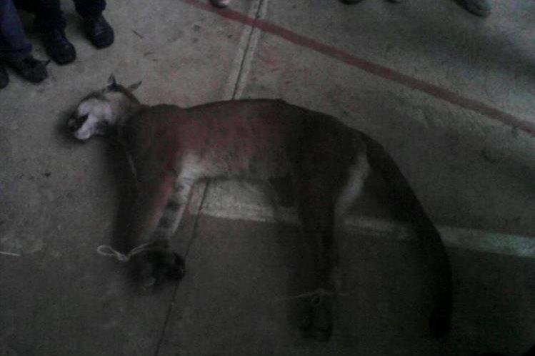 Puma que murió por una herida de bala en San Marcos. (Foto Prensa Libre: Mi Voz Por La Tuya)