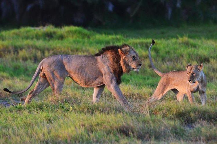 Unos 20 mil leones aún sobreviven en África.(Foto Prensa Libre: AFP).