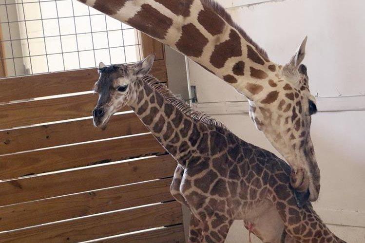 April, dio a luz a un macho en el zoológico de Nueva York. (Foto Prensa Libre: AP)