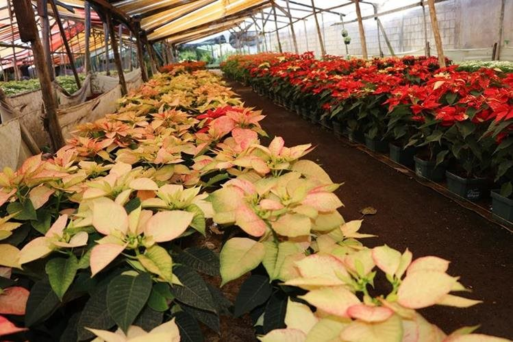 Al menos 20 especies de flores se ofrecerán este domingo en la primera feria de la pascua en San Miguel Dueñas, Sacatepéquez. (Foto Prensa Libre: Nery Gálvez)