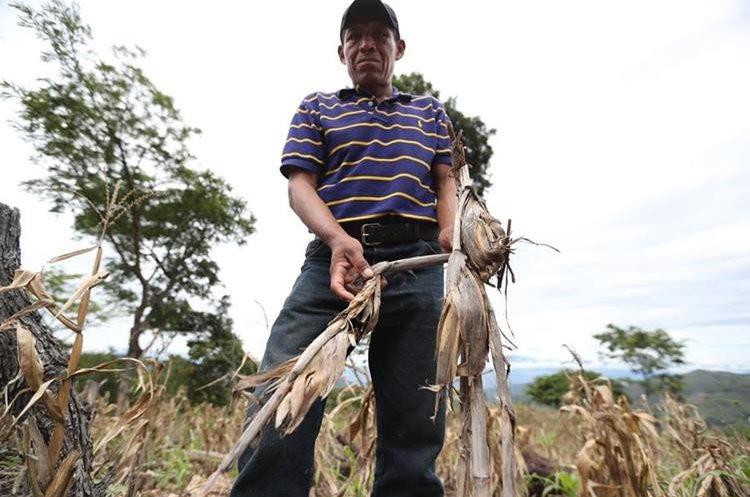Un campesino de San Pedro Pinula muestra sus pobres cosechas de maíz. (Foto Prensa Libre: Hemeroteca PL)