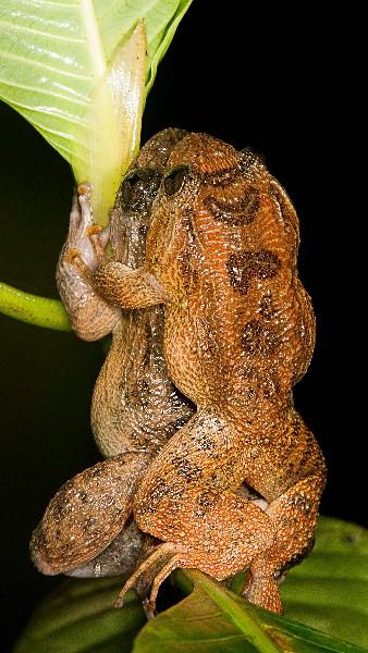 Un par de ranas nocturnas de Bombay muestra su modo de apariamiento.(AP).