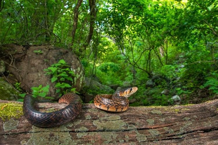 Rana de árbol de Yucatán (Triprion petasatus). Yucatán, México. (Foto Prensa Libre: Fernando Martínez Belmar).