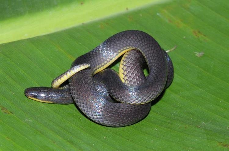 Los reptiles son parte de la fauna del departamento de Guatemala (Foto Prensa Libre: Carlos Almazán)
