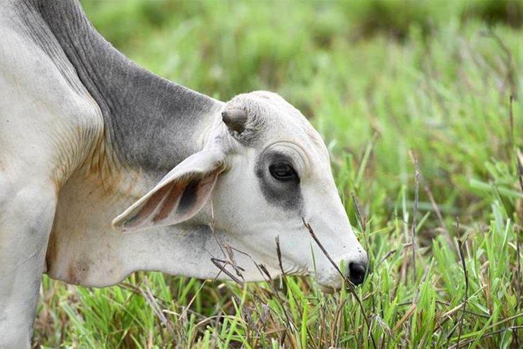 El Maga aclaró que el país está libre de enfermedades bovinas. (Foto Prensa Libre: Hemeroteca)