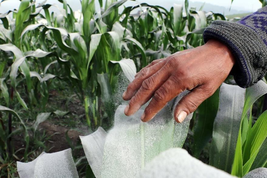 Cultivos de Maíz fueron afectados por la ceniza, en Xela. (Foto Prensa Libre: Carlos Ventura)
