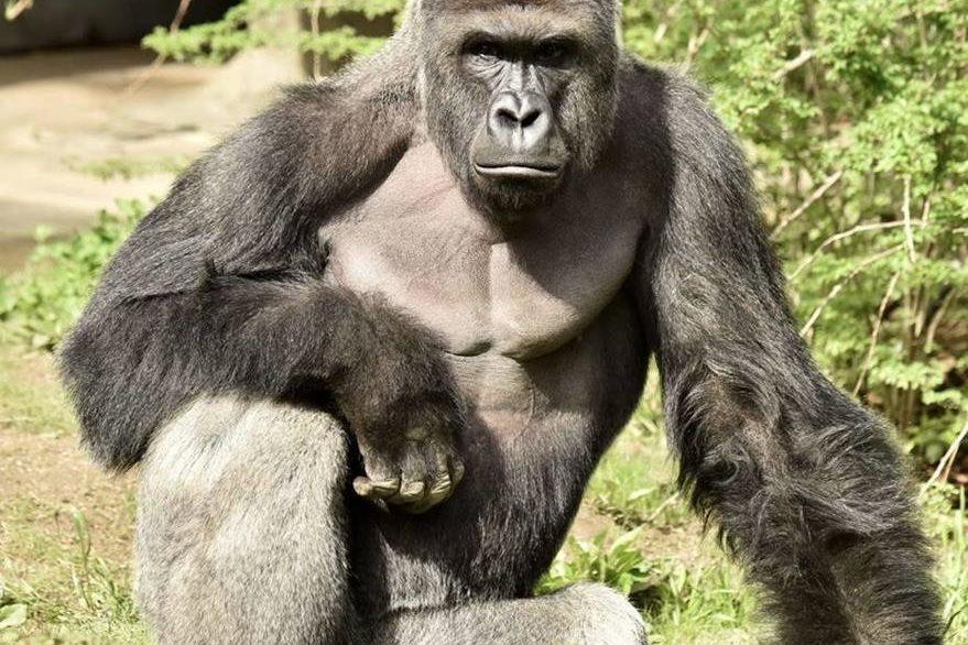 """Imagen de archivo de """"Harambe"""", el gorila macho de 17 años que pesaba más de 180 kilos  y fue sacrificado. (Foto Prensa Libre: EFE)."""