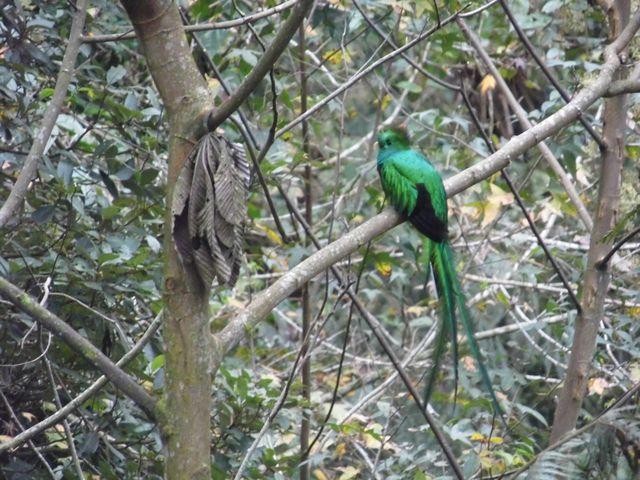 El naturalista mexicano Pablo de la Llave, fue el primero en describir el ave, en 1832. (Foto: Cortesía Pablo Bolaños).