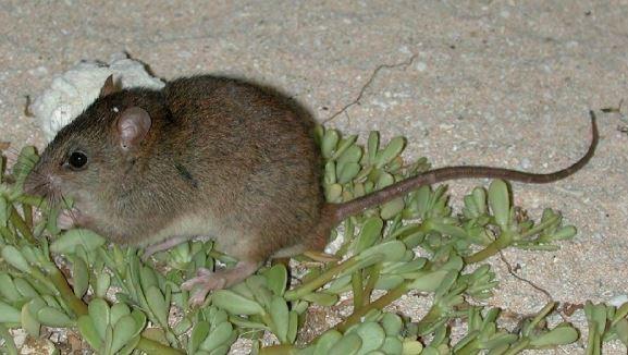 El animal, cuyo nombre científico es Melomys rubicola, habitaba en el cayo Bramble. (Foto tomada del sitio:environment.gov.au /Peter Latch).