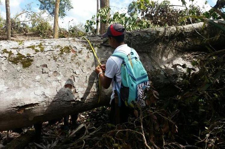 Un guardarrecursos del Cecón mide un árbol talado en el Biotopo Laguna del Tigre, San Andrés, Petén.(Foto Prensa Libre: Rigoberto Escobar)