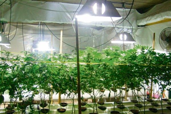 El cultivo de marihuana fue legalizado en Uruguay hace un año. (Foto: Hemeroteca PL)