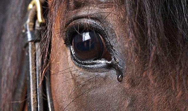 El principal resultado del estudio descubrió que el caballo mira el enfado con su ojo izquierdo, y procesa esta emoción con el hemisferio derecho.