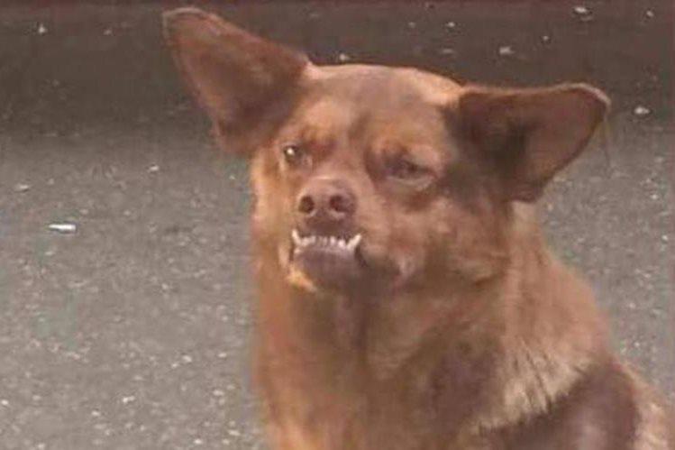 El perro conocido en redes sociales como Chilaquil, permanece bajo el cuidado de una asociación protectora de animales en Chile. (Foto Prensa Libre: Twitter)