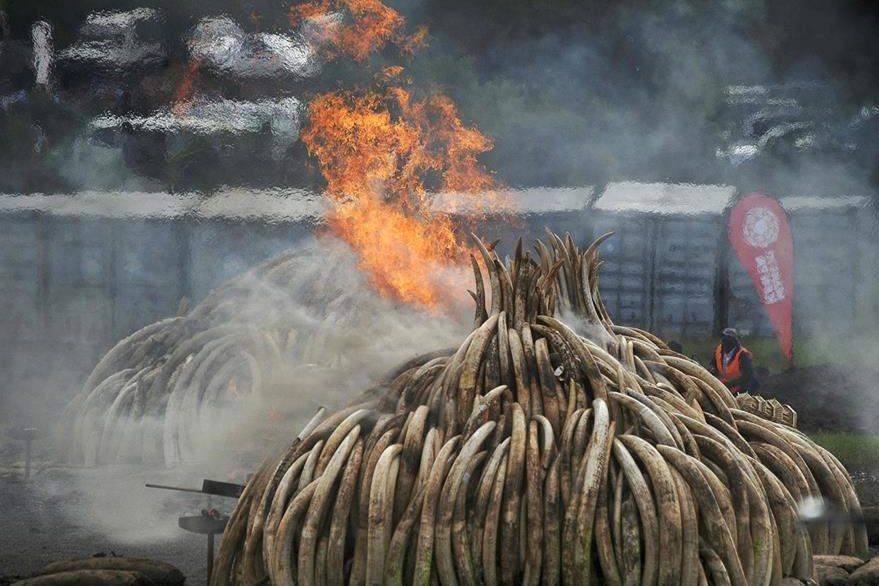 Marfil arde en un campo de Kenia.
