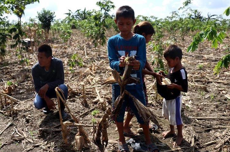 Amalia Xol y sus hijos buscan algunas mazorcas entre la milpa destruida por la inundación, en Chisec, Alta Verapaz. (Foto Prensa Libre: Mike Castillo)