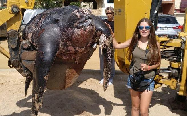 Una tortuga muerta, de al menos dos metros de largo, fue hallada en la localidad de Calella, Barcelona, España. (Foto Prensa Libre: La Vanguardia / Carles Tobella)