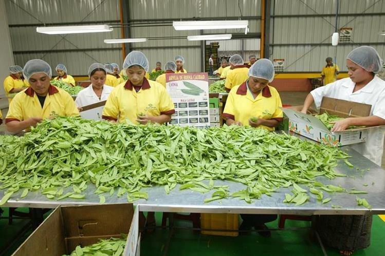 Trabajadores de la empresa Det Pont limpian arbeja china en la planta de la compañía. (Foto Prensa Libre: Hemeroteca PL)