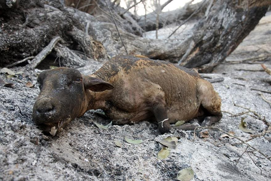 Una oveja murió debido a las quemaduras causadas por incendios forestales.(AFP).